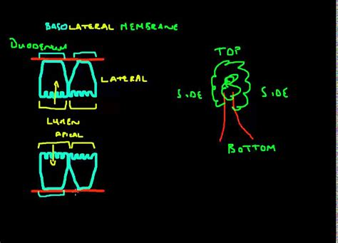 basolateral membrane clearing   confusion youtube