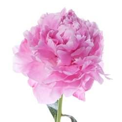 pink peonies hot pink peonies flower muse