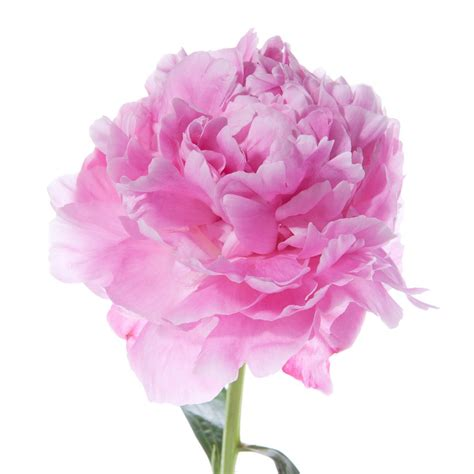 the pink peonies hot pink peonies flower muse