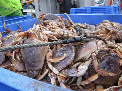 Whats In Season Dungeness Crabs by Why Did Puget Sound Crabs Shed Their Shells Early Kuow