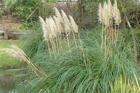 Names For Pale Yellow by Pampas Grass Weed Identification Brisbane City Council