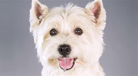 west highland white terrier puppy west highland white terrier history temperament american kennel club