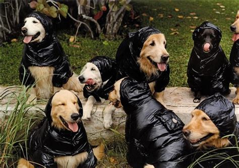 bruce weber golden retrievers bruce weber s golden retrievers another