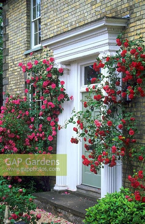 climbing plants for front of house gap gardens climbing roses around front door of house