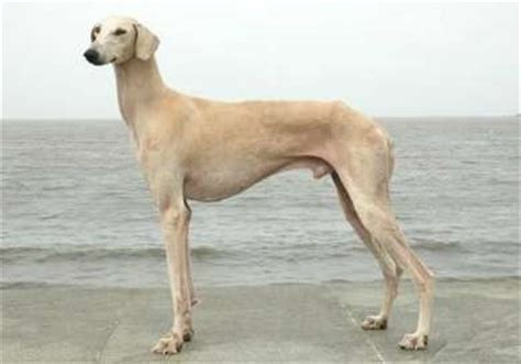 indian breeds the gallery for gt indian breeds with pictures