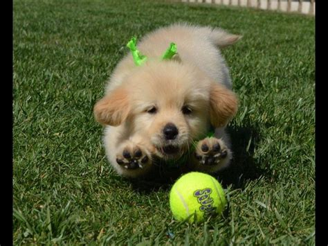 golden retriever puppies nebraska image gallery retriever breeders