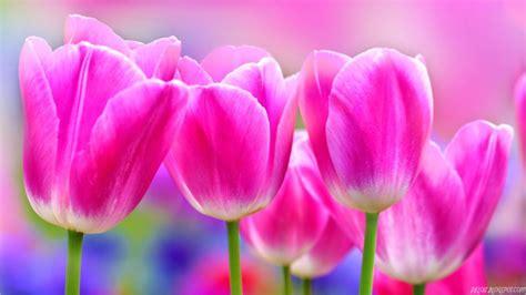 sejarah  jenis bunga tulip  cantik kang suhes blog