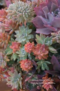 colorful succulents colorful succulent rosettes b e a c h h o u s e