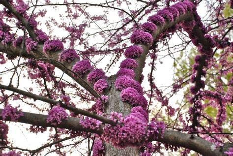 american redbud tree a classic this spring flowering tree grows in zones 5 9 and was new to