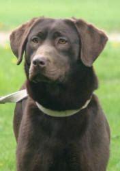 chocolate lab puppies mn labrador retrievers