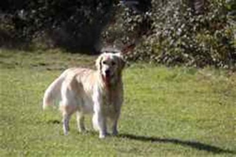 golden retriever yeast infection skin skin infection how to recognize and treat the symptoms