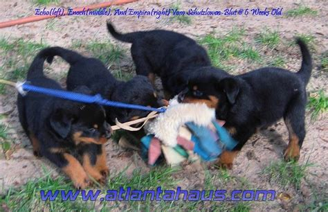 rottweiler puppies atlanta the purpose of the german rottweiler breed