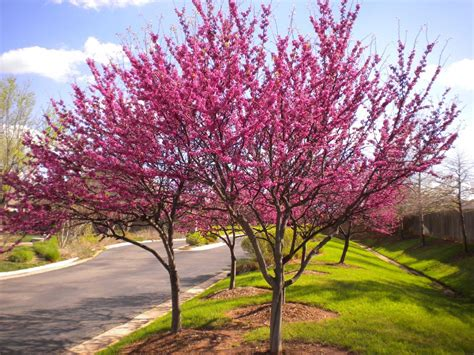 history trees history of the redbud tree lilygrass