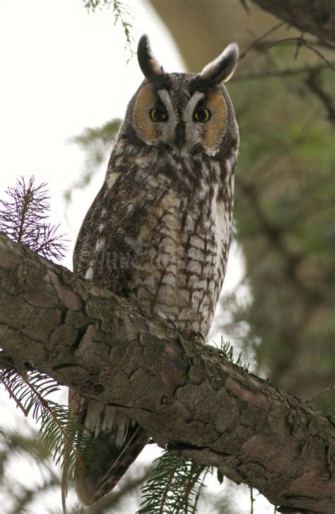wisconsin owls identification eared owls in wisconsin on january 28 2016 window to wildlife photography by jim edlhuber
