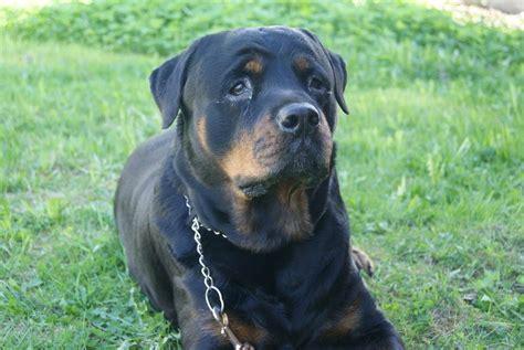 ley de razas de perros peligrosos boo the dogs dudas sobre la ley de perros potencialmente peligrosos