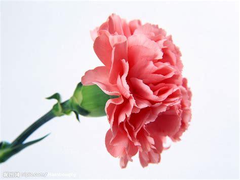 anjers tulpen happy colors 母亲节的康乃馨图片专题 母亲节的康乃馨下载 昵图网nipic com
