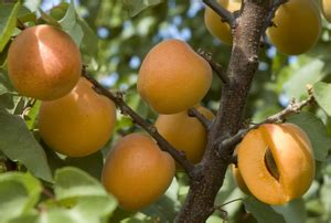 fruit trees for zone 4 recommendations for usda zones 5 9 dave wilson nursery