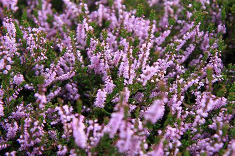 erica in vaso come coltivare l erica in vaso o in giardino lombarda flor