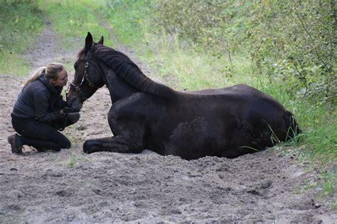 pferd liegen beibringen jungpferdeausbildung zirkuslektionen tricks