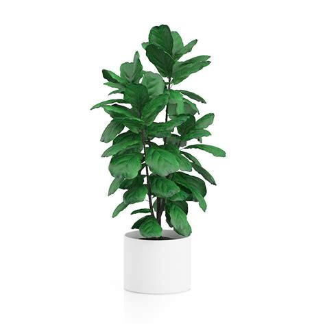 tree plant potted ficus tree 3d model max obj fbx c4d cgtrader