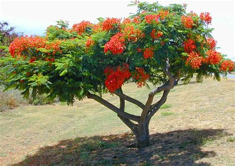 royal poinciana tree royal poinciana decor garden outside ideas trees search