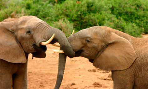 Imagenes Animales Relacionandose | 191 cu 225 ntas especies de elefantes hay diferencias entre