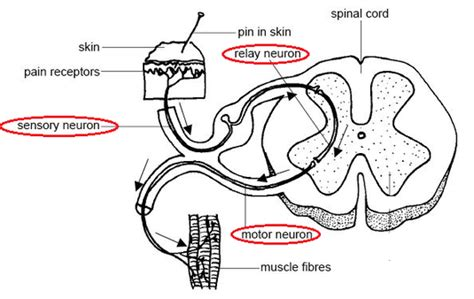 mammalian spinal cord in cross section simple reflex arc biology notes for igcse 2014