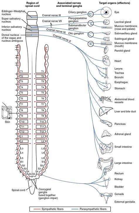 divisions   autonomic nervous system anatomy