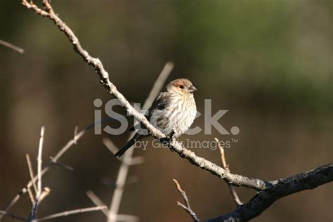 house finch symbolism house finch stock photos freeimages com