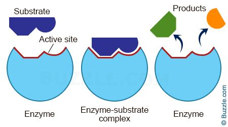 enzyme diagram enzymes