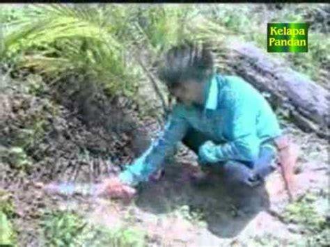 Bibit Kelapa Hibrida Medan cara tanaman kelapa matak