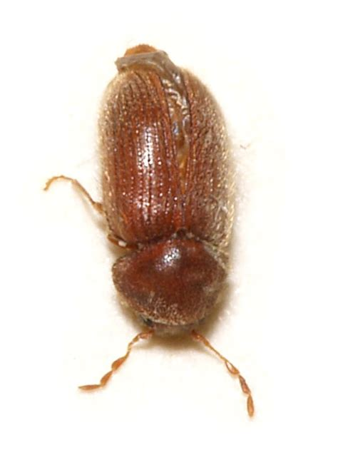 Pantry Bugs That Fly by Drugstore Beetle