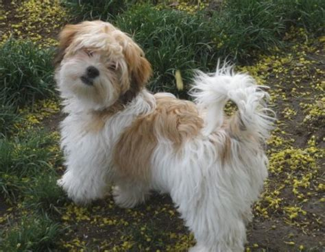 havanese information pictures of havanese 10 breeds picture