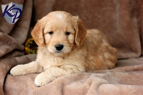 goldendoodle puppies for sale ta mini goldendoodles for sale miniature goldendoodle