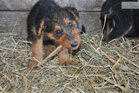 airedale puppies for sale near me airedale terrier for sale for 550 near seattle tacoma washington b45e3ee5 0901