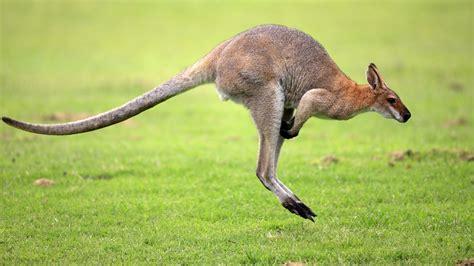 animal pictures kangaroo animal pictures