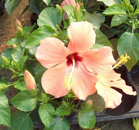 derivato di fiore piante da vaso hibiscus ibisco hibiscus syriacus