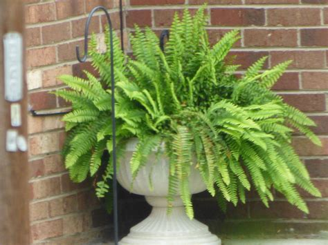 boston fern outdoor care tips for growing boston fern in