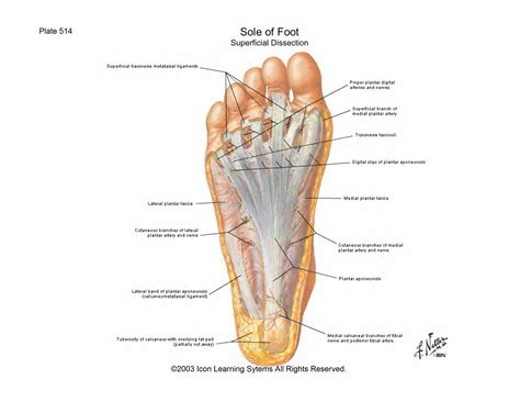Planter Of Foot scientia foot lecture notes