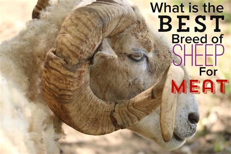 what is the best breed of what is the best breed of sheep for on a homestead