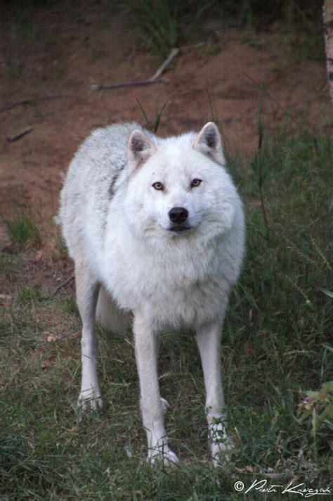 Dormir Avec Les Loups 39 by Qu 233 Bec Ma Rencontre Avec Les Loups