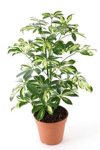 foliage house plants 18 best large indoor plants houseplants for home
