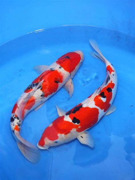Kue Keranjang Bentuk Ikan Koi bentuk paguyuban jual ikan koi blitar fmafe