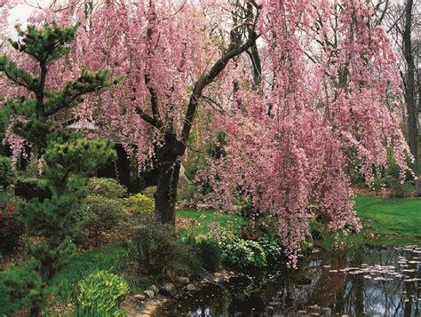 cherry tree species flowering cherry tree varieties care garden design
