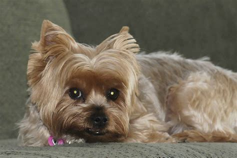 yorkies breed small breeds terrier