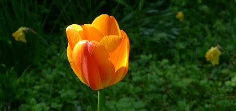 fiore bianco con pistillo giallo fiore rosso con pistillo giallo cool amarillide