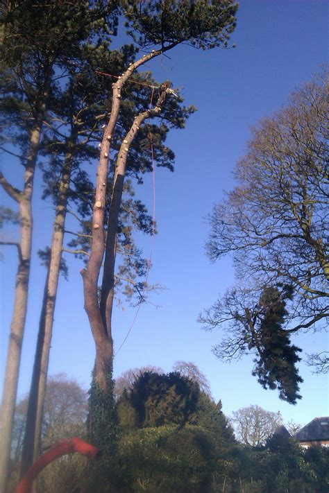 felling a tree in sections gallery falconer tree specialists ltd merseyside