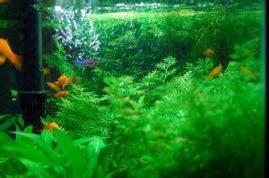 selecting aquatic plants  goldfish