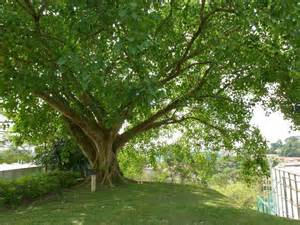 now is my story in sketches the bodhi tree