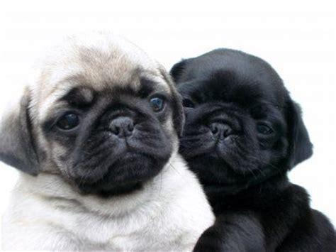 pug negro bebe 25 melhores ideias sobre filhotes de pug preto no filhotes de pug pug